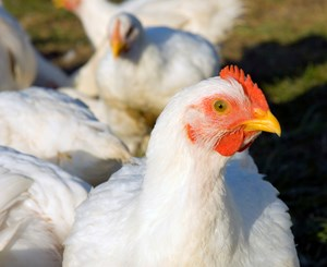 The Science Driving Change for Broiler Welfare