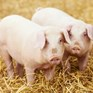 Compassion hosts pig welfare roundtable