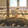Panera Bread® joins move to improve broiler welfare in USA