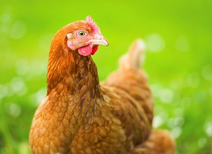 Resources: Laying Hens | Compassion in Food Business