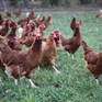 Key features of cage-free systems for laying hens