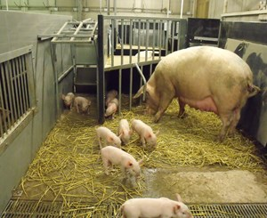 Fumagalli (Italy) Free Farrowing Case Study