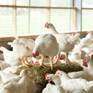 Kraft Heinz commits to better chicken