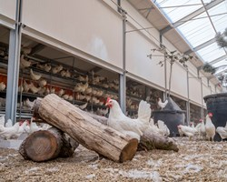 Kipster – higher welfare barn system for laying hens