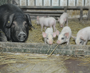 China Case Study - Group Housing for Sows